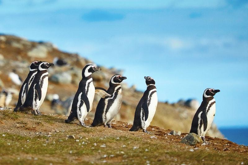 Guia pela cidade de Punta Arenas no Chile: Isla Magdalena