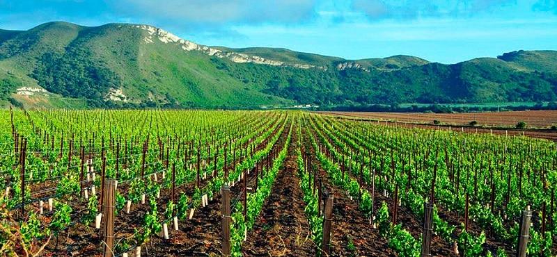Plantação na vinícola Santa Rita
